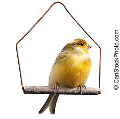 Canary Serinus canaria on Swing isolated with clipping path...