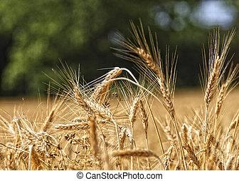 trigo, Plano de fondo