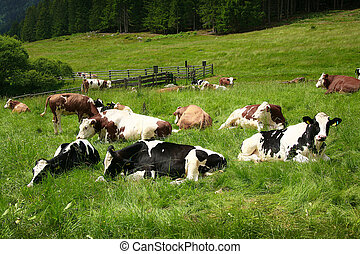 cattle in south tyrol