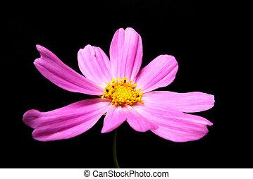 cosmea - pink colour end cosmea on black reason
