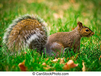 Eastern Gray Squirrel Profile - A close-up, side view of a...