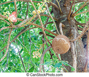 The cannon ball tree flower and fruit