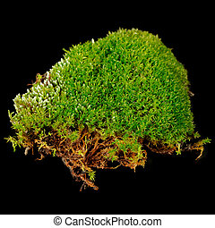 Clump of Moss Close-Up on Black Background - A small clump...
