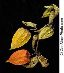 Chinese Lantern plant Physalis alkekengi. Poignant and...