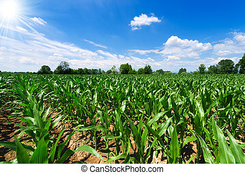 Green Corn Field - Corn field under a beautiful sky with...