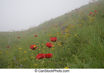 Poppies of Alborz mountains, Iran - Poppies of Alborz...