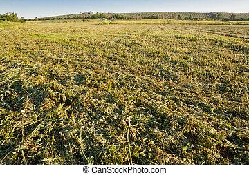 alfalfa, campo, sólo, corte