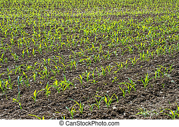 corn seedlings