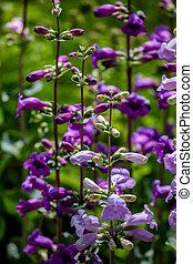 Pikes Peak Purple (Penstemon mexicali)