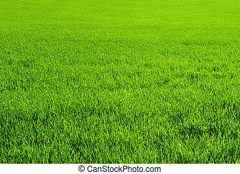 Green grass - Texture - spring green grass