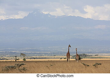 Giraffes in Abedere National Park - Walking through Aberdare...