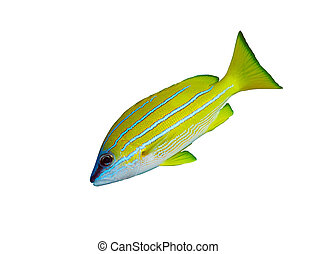 Bluestripe snapper Lutjanus kasmira isolated on white...