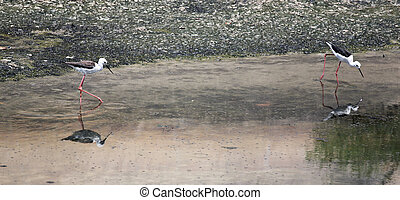 Black-winged Stilt Himantopus himantopus - Black-winged...