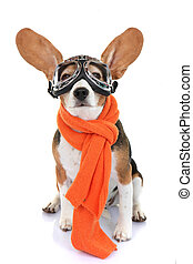 concept for travel or vacation pet aviator