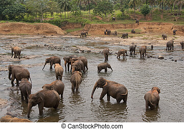 Pinnawela Elephant Orphanage - Herd of asian elephants...