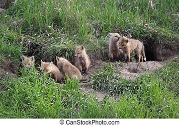 Fox pups - Six fox pups at their den