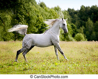 beautiful arab stallion