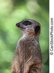 Slender-tailed Meerkat (Suricatta suricatta)