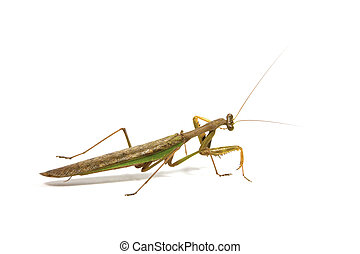 Side View of Brown and Green Praying Mantis - side view of...