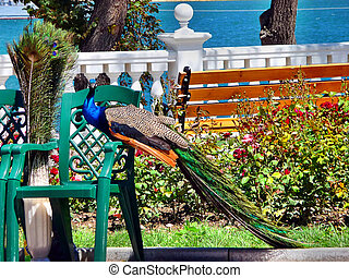 The peacock in seaside parkway in Sevastopol