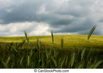 Standing up - Wheat stemms standing up against stormy sky
