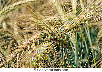 Background with wheat 12 - Background with wheat ears, found...