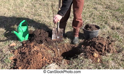 planting young apple tree sprout - gardener in farm orchard...