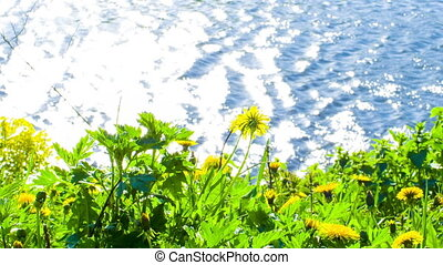 Flowers on shore of Lake - Yellow flowers on shore of lake...
