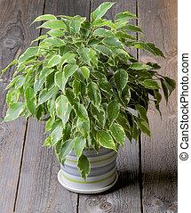 Photos et images de caoutchouc plante 4 961 photographies for Plante caoutchouc