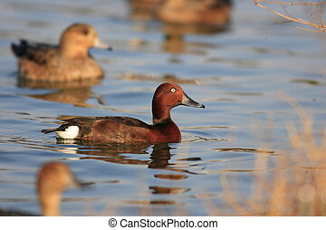 Ferruginous Duck Aythya nyroca in Japan