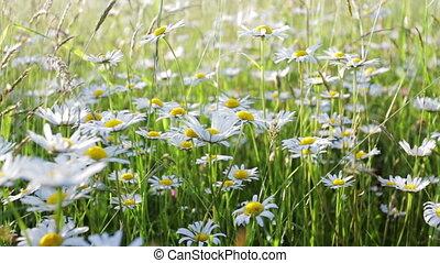 daisy flower meadow field