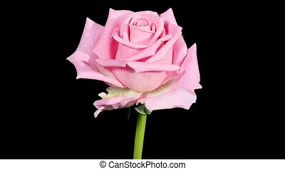Blooming pink roses flower buds ALPHA matte, FULL HD Rose...