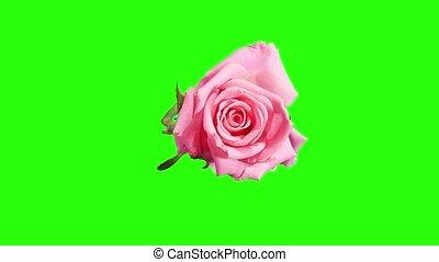 Blooming pink roses flower buds green screen, FULL HD Rose...