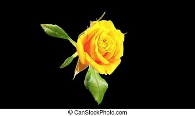 Blooming yellow roses flower buds ALPHA matte, FULL HD Rose...