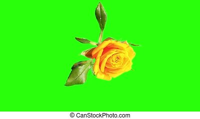Blooming yellow roses flower buds green screen, FULL HD Rose...