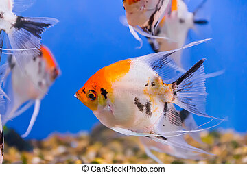 Aquarium fish - Photo of aquarium fish in blue water