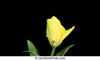 Blooming yellow lily flower buds ALPHA matte, FULL HD Lilium...