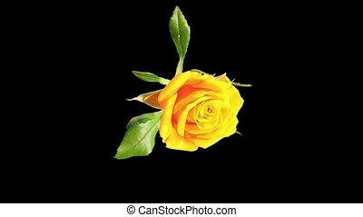 Blooming yellow roses flower buds ALPHA matte, FULL HD....