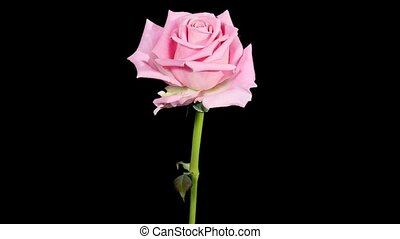 Blooming pink roses flower