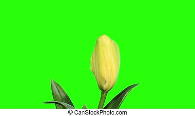 Blooming yellow lily flower buds green screen, FULL HD...