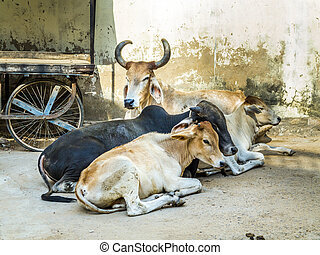 tired cows resting at the street in india