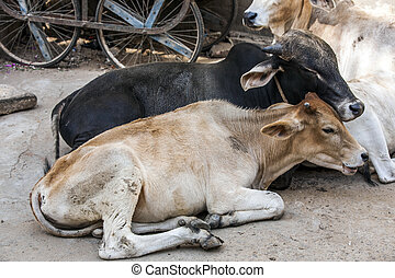 cows resting in the midday heat at the street in india