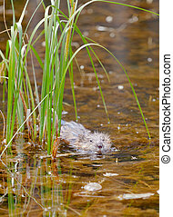 Muskrat Ondatra zibethicus swimming pond sedges -...