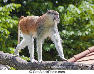 Patas monkey (Erythrocebus patas) - A male patas monkey...