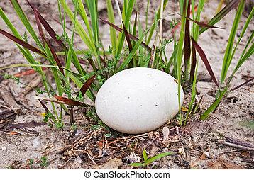 Abandoned Egg - Goose egg in weeds.