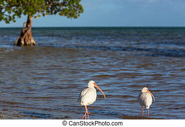 Ibis - White Ibis in a Shallow Pond - Florida