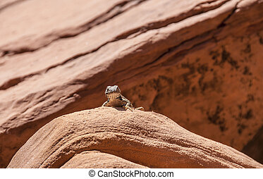 Small lizard on the slickrock in the canyon looking towards...