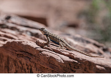 Small lizard on the slickrock in the canyon looking away...