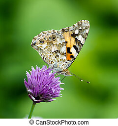 Painted Lady - The beautiful butterfly Painted lady or...