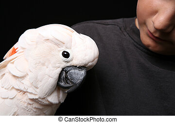 Moluccan Cockatoo With His Human Companion - Moluccan...